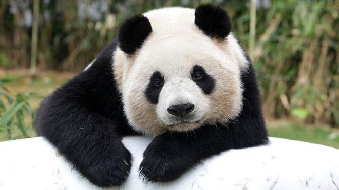 How did China save the giant panda? - BBC News