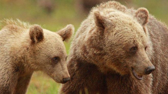 شکار همراهی توله خرس های سوئدی با مادرانشان را طولانیتر کرده