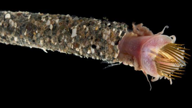 Трубний черв'як