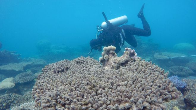 Surveys of the bleached/dead corals at Zenith Reef, GBR