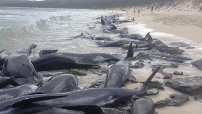 گروه بزرگی نهنگ در سواحل غربی استرالیا به ساحل افتادند