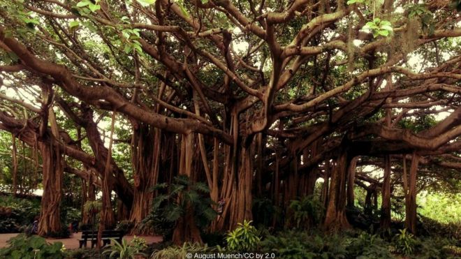 The banyan tree can get very big