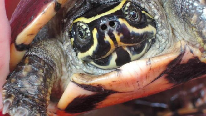 Undated handout photo issued by WWF, of a Malayemys isan, a snail eating turtle, which is one of the 115 new species that were discovered in the Greater Mekong region in 2016.