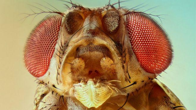 Resultado de imagen para La humilde mosca de la fruta fue clave en 5 investigaciones que ganaron el premio Nobel de Medicina