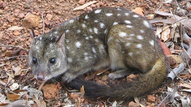Rewilding' may rescue vulnerable Australian animals - BBC News