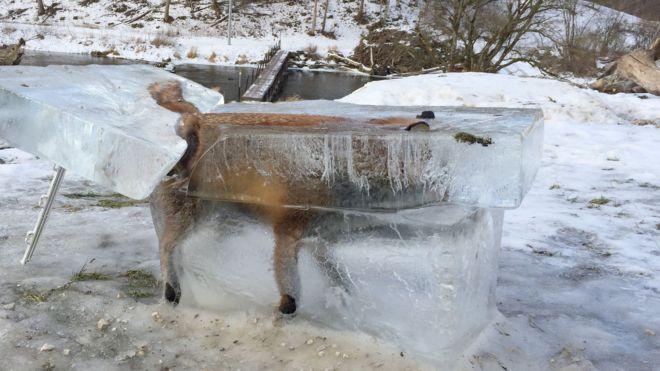 Raposa congelada