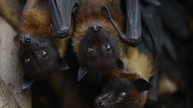 Indian bats