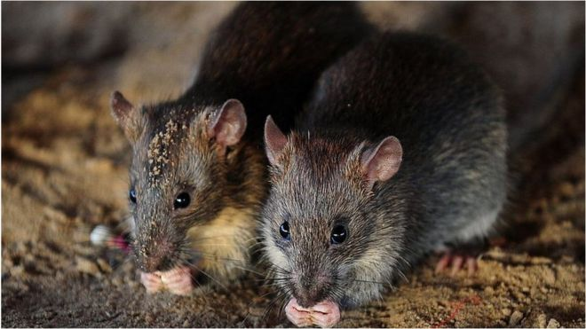 Rats 'drink seized alcohol in India's Bihar' #India #Bihar