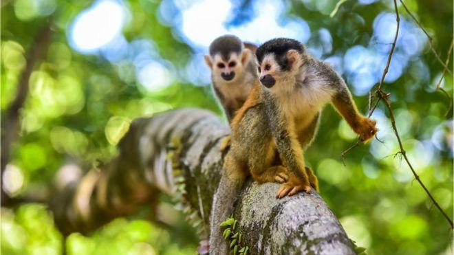 Monos saimiri o monos ardilla.