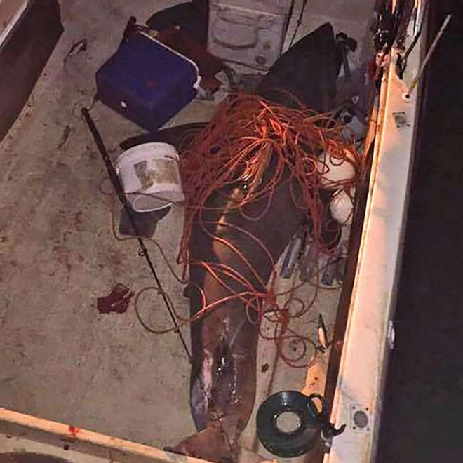 A 2.7m (8.8ft) great white shark, which leapt into the boat of fisherman Terry Selwood, off Evans Head