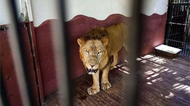 African lion in a zoo