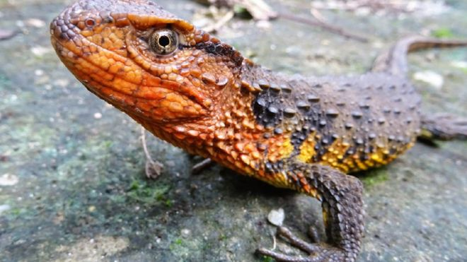 Undated handout photo issued by WWF, of a Shinisaurus crocodilurus vietnamensis, a Vietnamese crocodile lizard, which is one of the 115 new species that were discovered in the Greater Mekong region in 2016