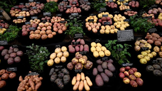 Different varieties of potatoes are displayed