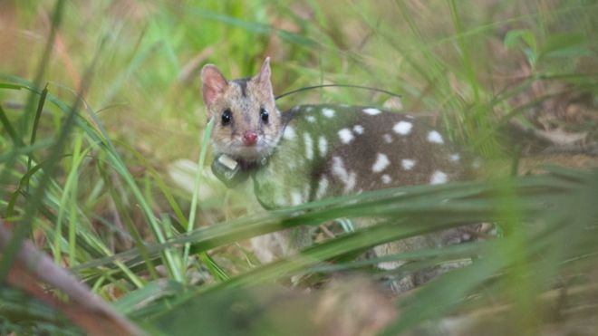An eastern quoll is seen in the wild with a GPS tracking device