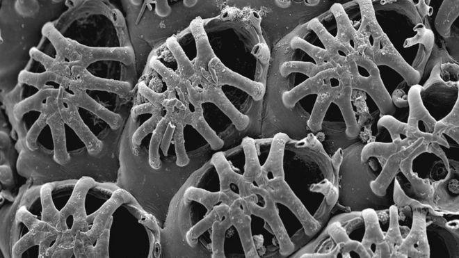 Reptadeonella granulosa