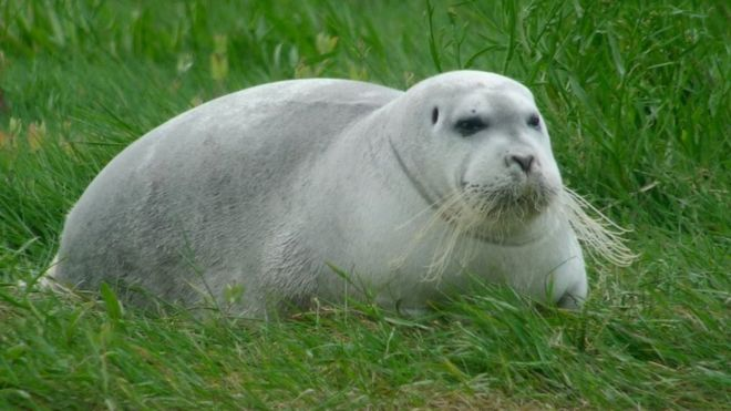 Bearded seal Rare Arctic visitor on holiday in Cork BBC News