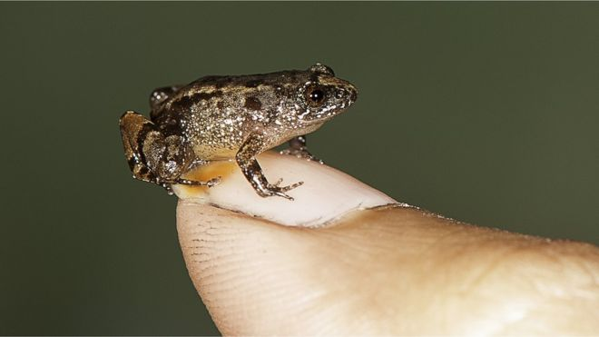 Seven new species of night frogs, some of the smallest known frogs in the world