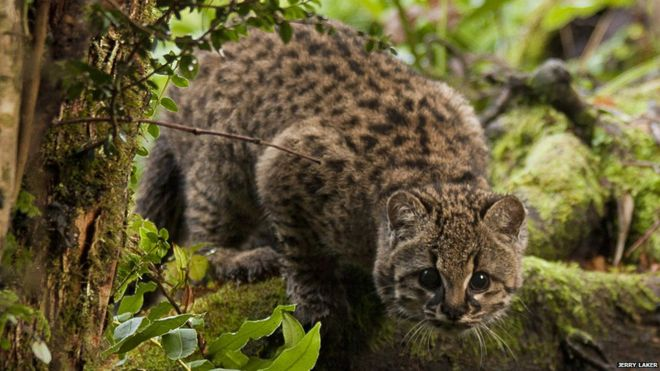 The Wildcat of Chile