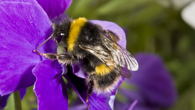 https://ichef-1.bbci.co.uk/news/660/cpsprodpb/6AA5/production/_96610372_c0223558-buff-tailed_bumblebee_on_a_pansy-spl.jpg