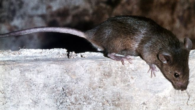 Brown rat - file pic