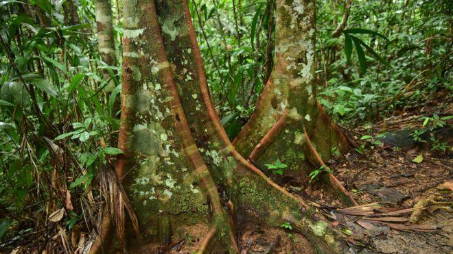 Dos grandes troncos de árboles en la Amazonía