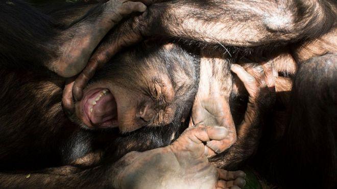 Chimpanzé sofrendo