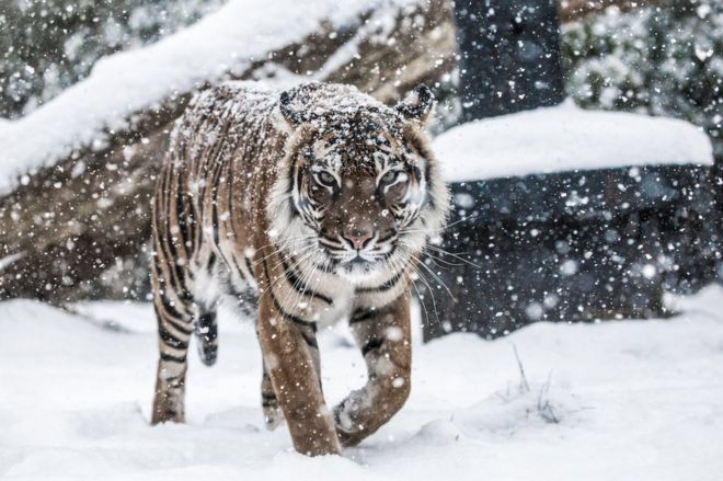 Tiger walking in snow