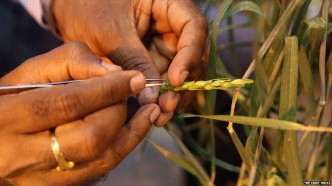 Wheat pre-breeding by The Crop Trust