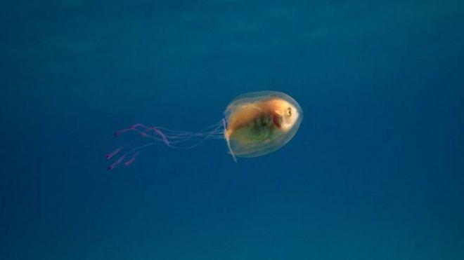 Medusa que con un pez adentro.