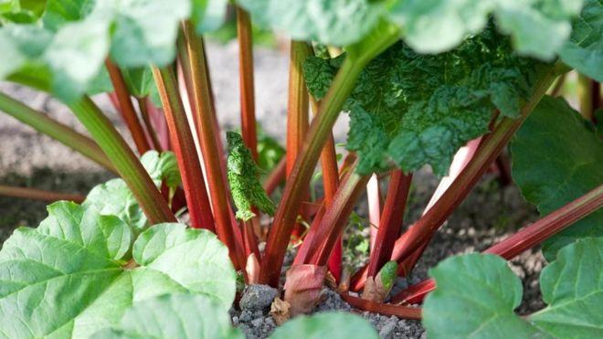 Ravent, ışkın ya da yayla muzu olarak bilinen bitkinin yaprakları yenmez.