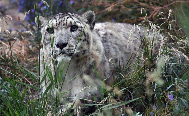 Image result for Snow Leopards No Longer Endangered