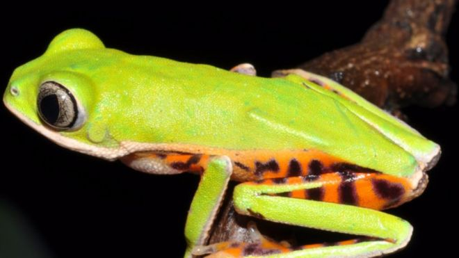 A New Species of Leaf Frog from the Mato Grosso state, Brazil