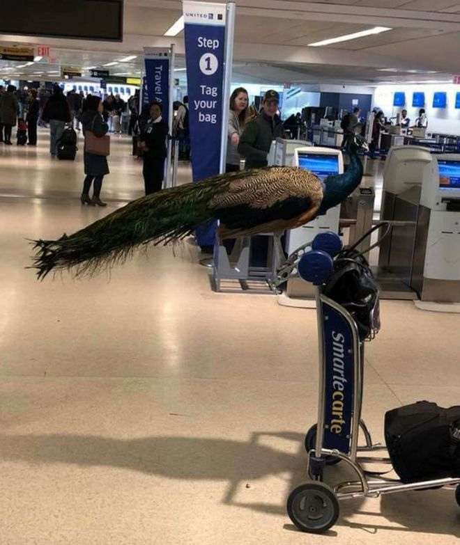 A picture of the peacock perched on a baggage trolley