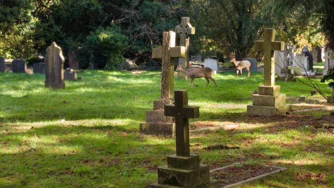 Олени на кладбище
