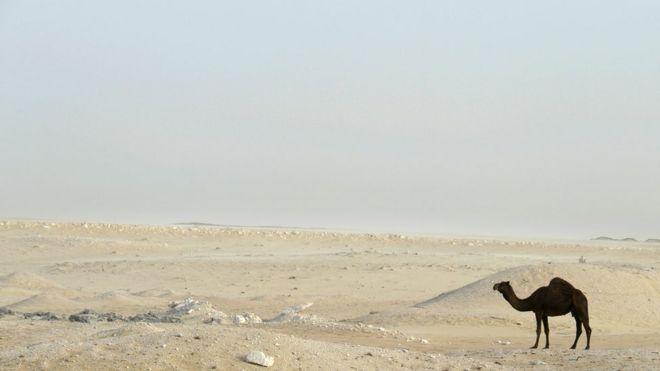 Camello en el desierto.