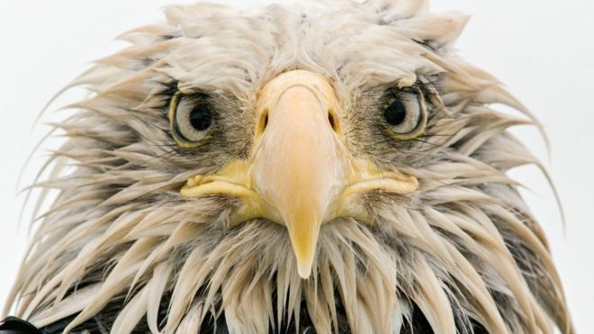 This photo, Bold Eagle, was taken by German photographer Klaus Nigge on Amaknak Island in Alaska, USA.