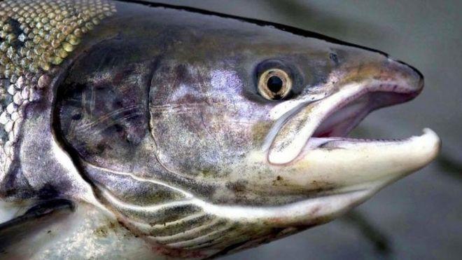 Чилийский лосось снижается в цене на ключевых рынках