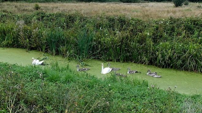 Swans and large cygnets on a reen near Llandevenny on the Gwent Levels