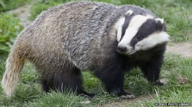 Image result for badger animal