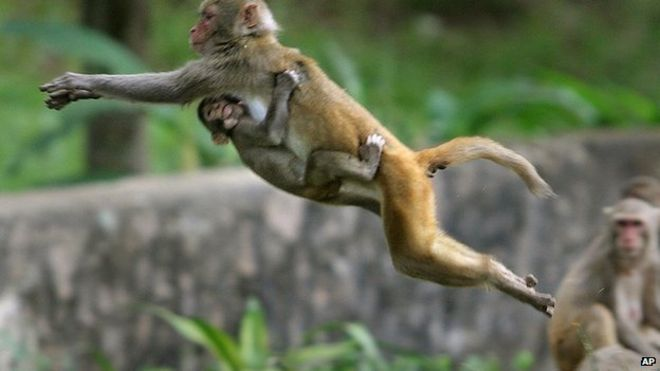 India employs 40 mimics to scare off parliament monkeys bbc news monkeys in delhi voltagebd Images