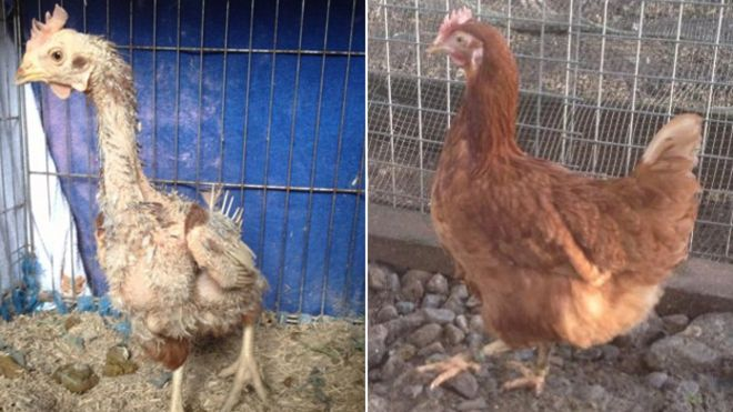 Felicity the former battery farm hen, when she arrived at Littlehill (left) was pictured again about three months after her rescue (right)