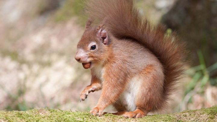 UK red squirrels carry 'a form of leprosy' - scientists - BBC News