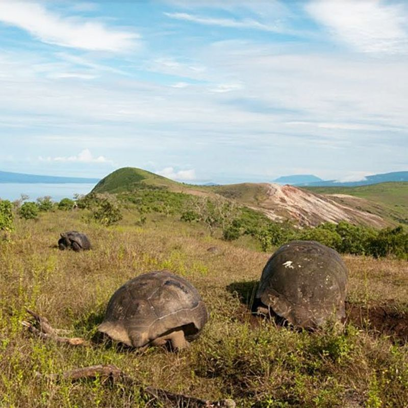 Tortugas gigantes comiendo vegetación en una zona elevada
