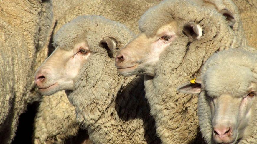 A generic image of merino sheep