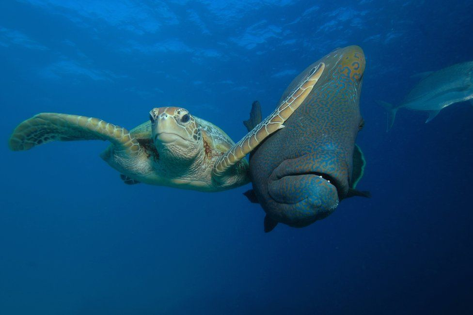Морська черепаха вдарила рибу, a sea turtle slapping a fish. Photo: Troy Mayne