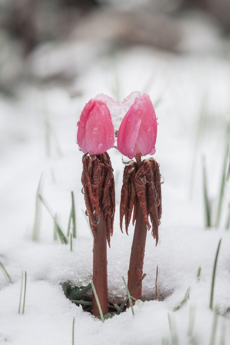 Dos capullos rosados cubiertos con agua y hielo y rodeados de nieve.