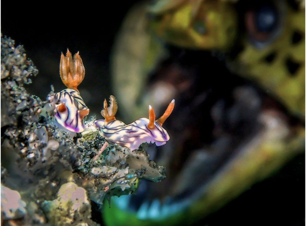 Sea slugs with a moray eel in the background.