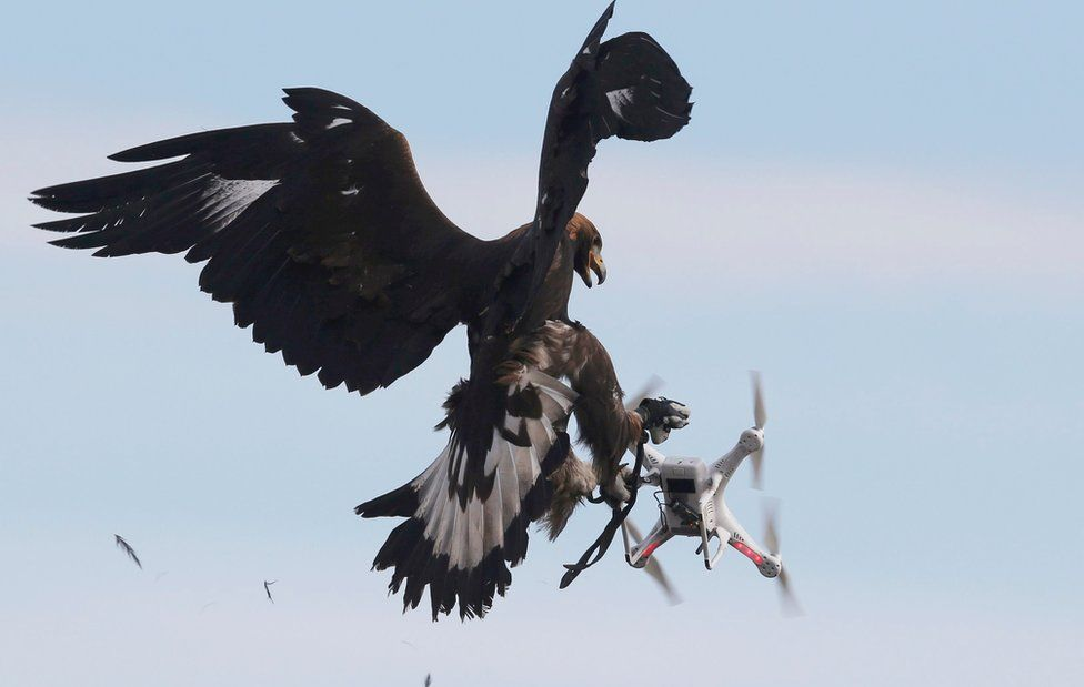 A golden eagle grabs a flying drone.