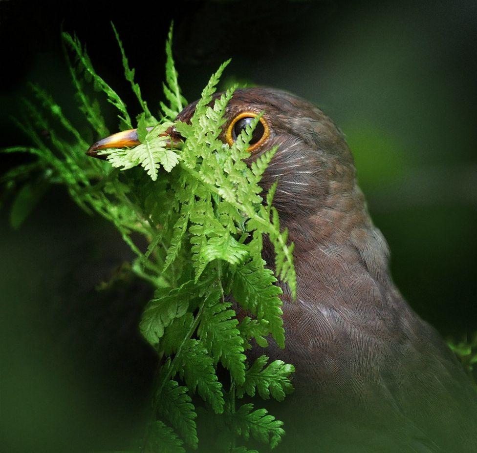 A blackbird looking through a green fern leaf