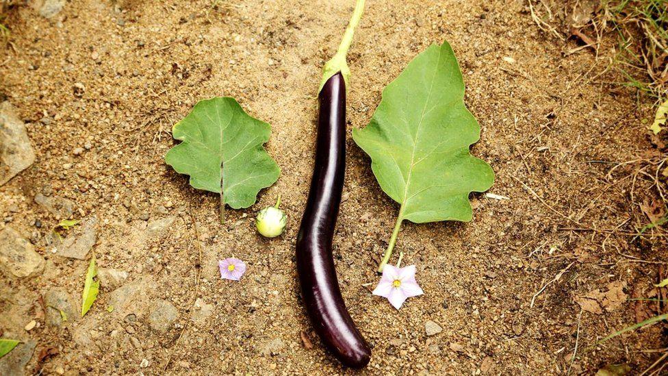 Скрещивая дикорастущие овощи с культивируемыми сортами, можно создать супергибрид, которому не страшны ни паразиты, ни болезни